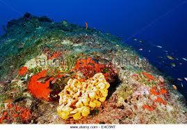 Azure Vase Sponge Facts Marine Sponge Stock Photos U0026 Marine Sponge Stock Images Alamy