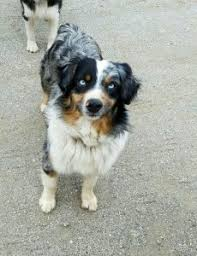 twin oaks 2 australian shepherd coronado u0027s australian shepherds u0026 quarter horses for sale