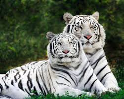 white tiger home decor white phase bengal tigers wallpaper tigers animals wallpapers in