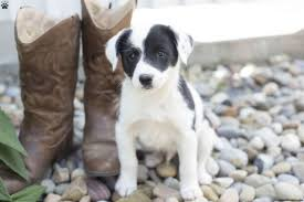 australian shepherd malamute mix border collie mix puppies for sale greenfield puppies