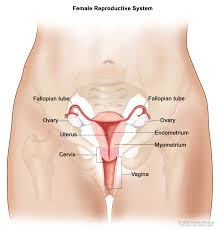 female inner body parts reproductive system inner body archives
