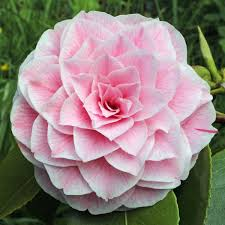 camellia flowers winter blooming camellias
