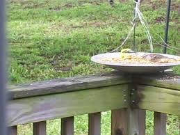 a look at birds page 7 backyard galah cam