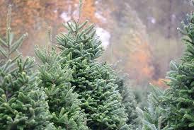 u cut u enjoy at pierce county christmas tree farms southsoundtalk