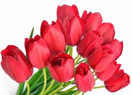 wallpaper bunga tulip flower red tulips flowers sweetness petals beautiful bouquet tender