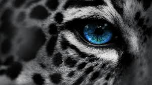 cute leopard eye macro beautiful animals hd quality desktop