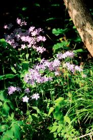 minnesota native plant society 15 best woodland projects images on pinterest native plants