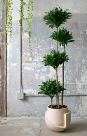 indoor live trees large indoor trees that make a bold statement