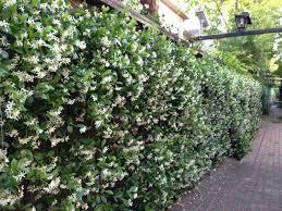 Tree Climbing Plants Types Of Fragrant Climbing Plants Jasmine Hgtv And Plants