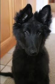 belgian sheepdog groenendael puppies for sale groenendael shepherd dog belgian shepherd groenendael show and