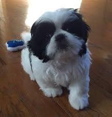 shih tzu with curly hair adorable shih tzu hair styles