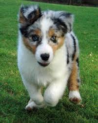 australian shepherd puppy 20 australian shepherd puppies that are so adorable you might just