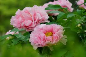 Peony Flowers Peonies Photo Wallpapers Pictures With Peonies