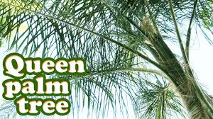 queen palm tree tropical plant growing types of palm trees