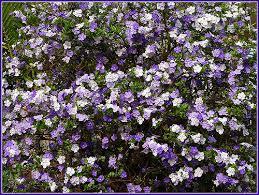 flowers today yesterday today tomorrow flowers brunfelsia brunfelsias flickr