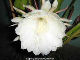 of bethlehem flower bethlehem nishagandhi itslife in