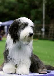 bearded collie brown what is the difference between tibetan terriers u0026 bearded collies