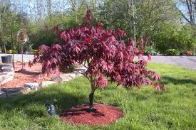 outdoor landscaping gorgeous japanese maple bloodgood for home