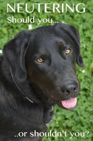 should i have my labrador neutered the evidence