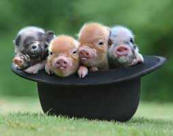 20 pictures miniature pigs die