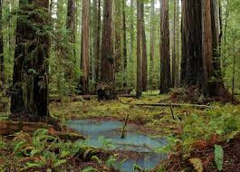 the tallest forest on earth upper bull creek flats humboldt