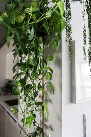 Easy Apartment Plants Best 25 Golden Pothos Ideas On Pinterest Golden Pothos Plant