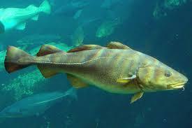 fish pisces animalia
