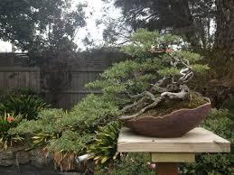 bonsai australian native plants australia tour parts two thru five bjorvala bonsai studio