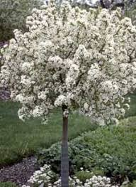 162 best ornamental trees flowering trees images on