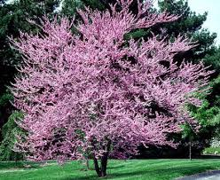 eastern redbud trees for sale fast growing trees