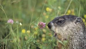 long groundhog pregnant animals mom