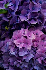 purple hydrangea my 1820 farmhouse is surrounded with hydrangeas a bit of
