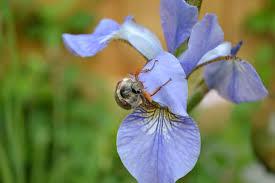 Iris Flag Kostenlose Foto Natur Blühen Wiese Blume Blütenblatt