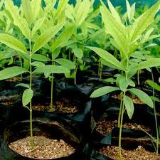 money spinning trees buy 6000 nursery plants n seeds