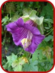 fiori viola coboea scandens 228x300 jpg