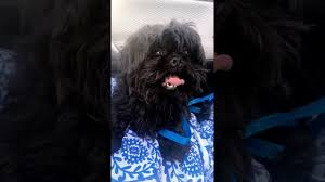 affenpinscher for adoption meet oliver a griffon brussels currently available for adoption at