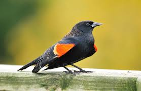 hinterland who s who winged blackbird