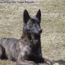 belgian sheepdog puppies for sale uk dutch shepherd puppies for sale