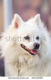 american eskimo dog eating habits american eskimo stock images royalty free images u0026 vectors