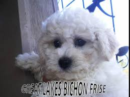 bichon frise dog breeders great lakes bichon frise bichon frise puppies for sale