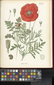 papaver rhoeas l plants of the world online kew science