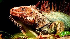 close up view of iguana lizard terrarium in dominical costa rica