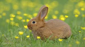 can rabbits eat parsley or dill