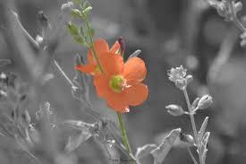 single orange flower black and white color accent home decor