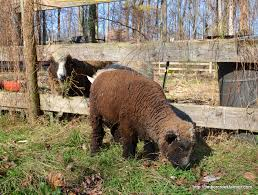 raising miniature goats cows chicken and sheep countryside network