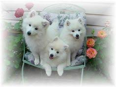 american eskimo dog vancouver american eskimos american eskimo dog reviews and pictures