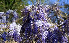 wisteria dsc02638 jpg