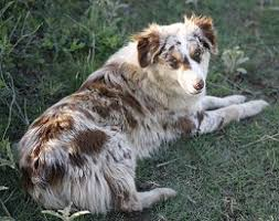 australian shepherd or border collie red merle australian shepherd with green eyes google search