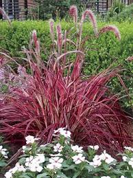 34 best ornamental grasses images on ornamental