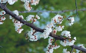 a parade of flowering trees finegardening